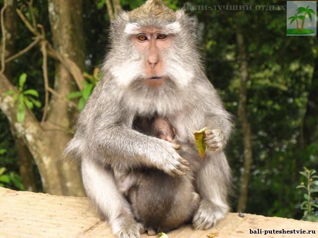 На Бали много обезьян попрошаек