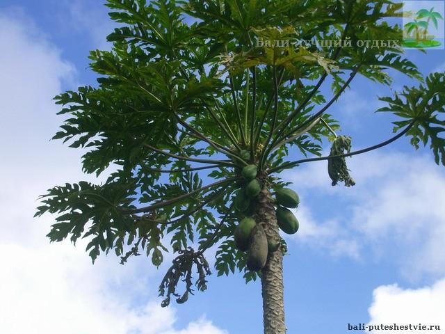 На Бали выращивают папайя