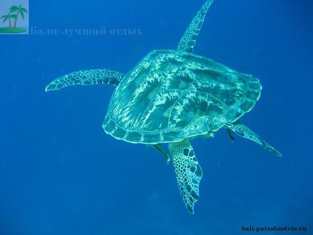 Морская черепаха на дайвинге на Бали