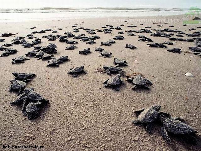 Черепашата на диком пляже