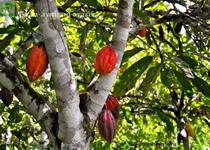 какао плоды