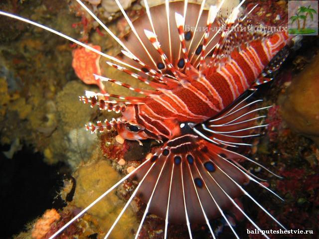 Крылатка, подводный мир Бали очень богат инересными и красочными обитателями