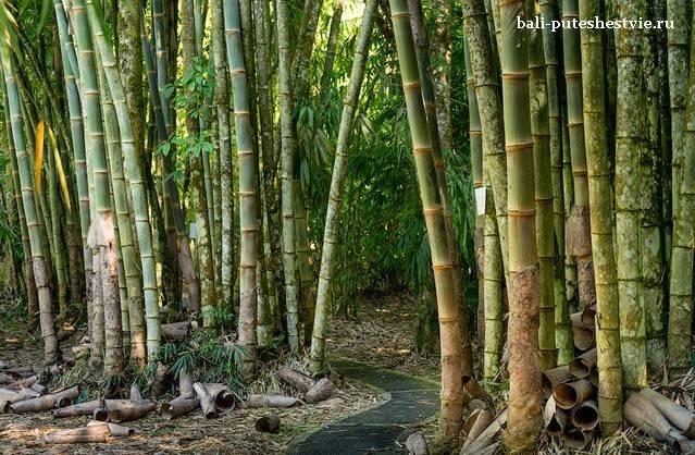 Бамбуковая роща Ботанический сад Бали