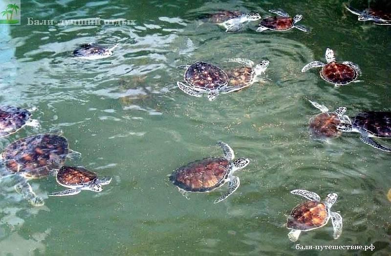 Морские черепахи на Бали