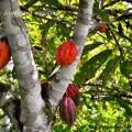 дерево какао и какао плоды