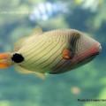 коралловая рыба Тригер