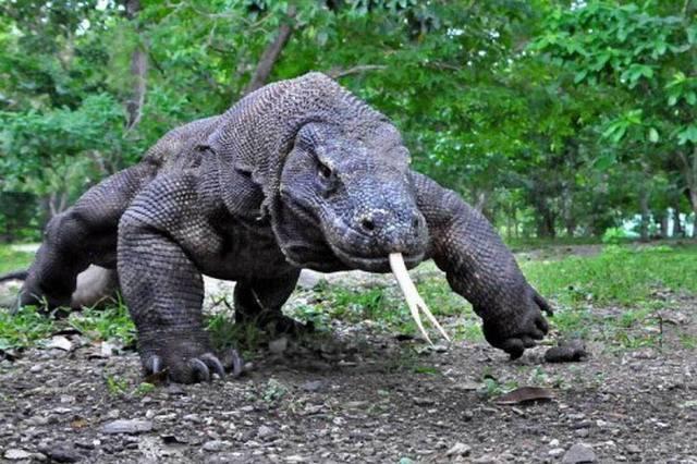 Комодский ящер