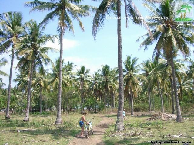 Плантация кокосовых пальм на Бали
