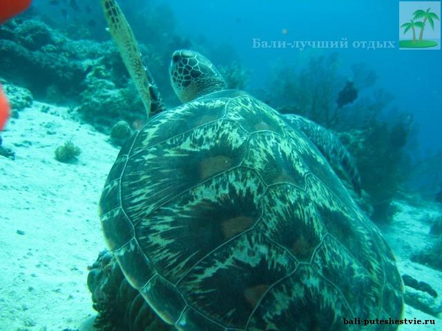 На Бали большай популяция морских черепах