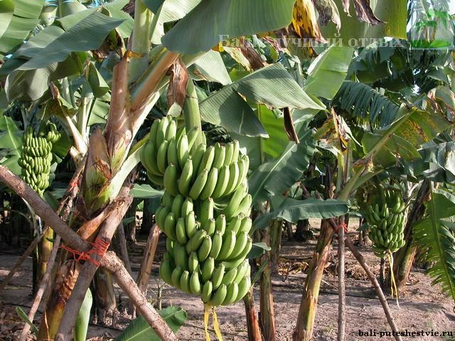 платнация бананов